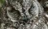 Kamuflajlı baykuş