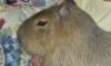 Biraz iri hamster